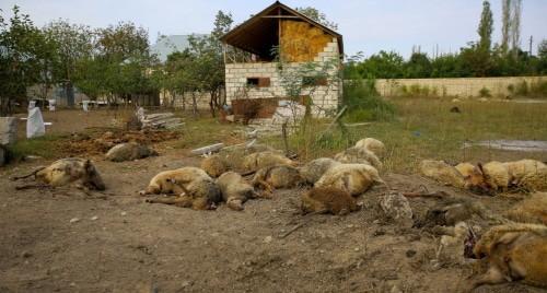 """Погибшие при взрыве овцы в Азербайджане. Фото Азиза Каримова для """"Кавказского узла"""""""
