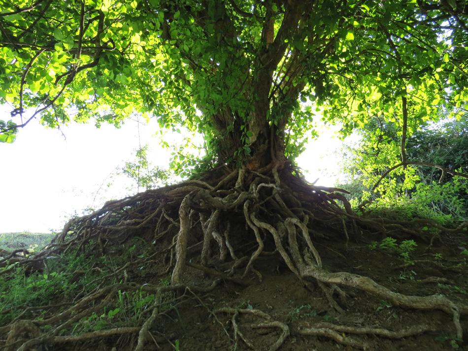 могут деревья с корнями фото надо